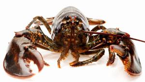 蟹状元加拿大龙虾