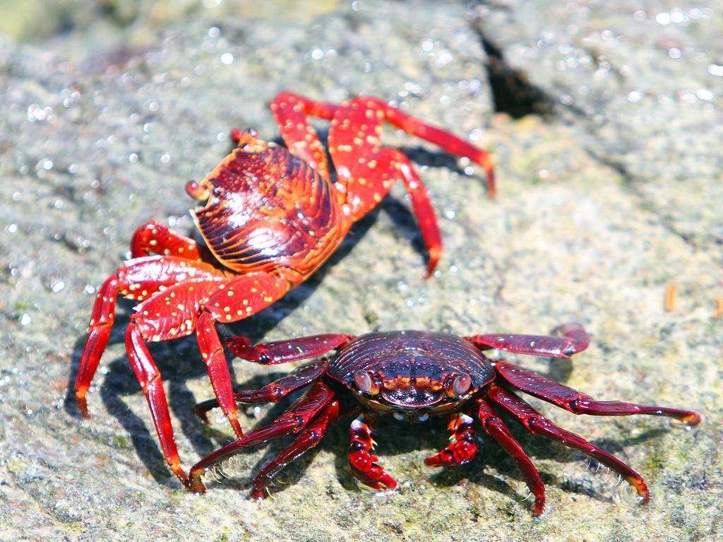 伊莎贝拉岛螃蟹