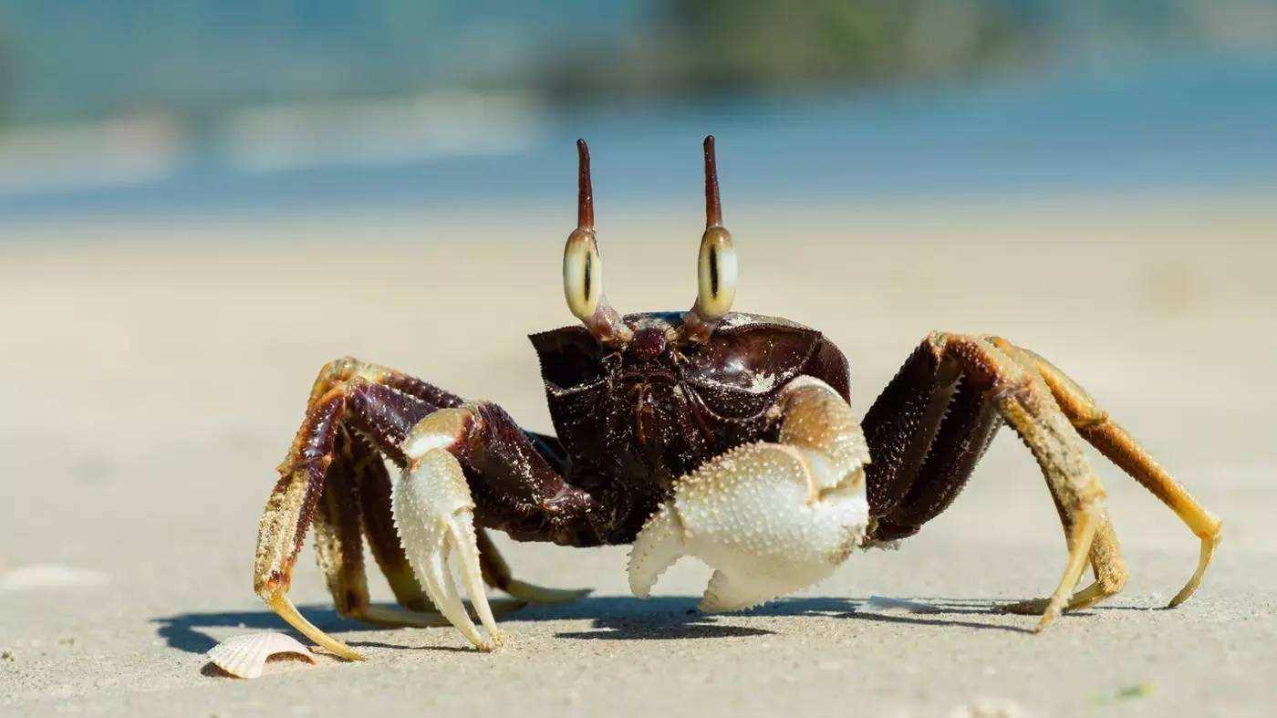 传说中的食人蟹