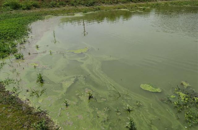 大闸蟹养殖蓝藻水.