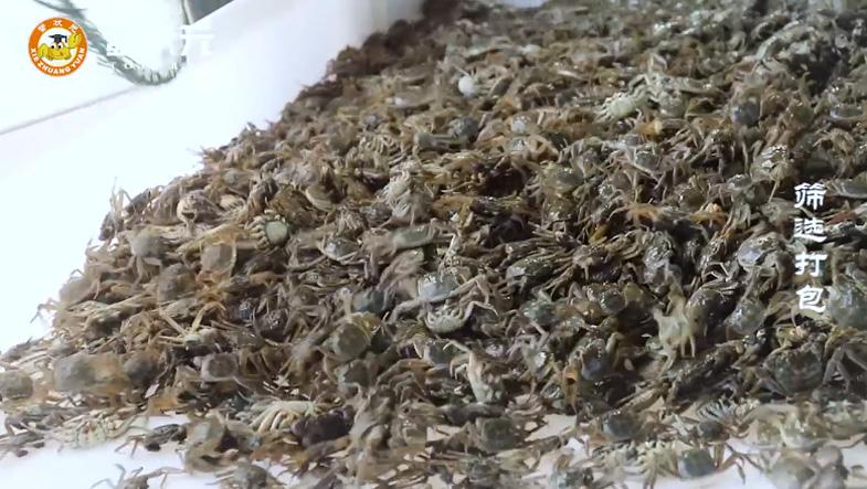 大闸蟹蟹苗
