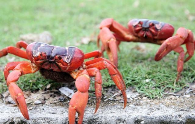 圣诞岛红蟹
