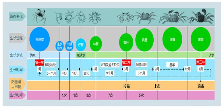 大闸蟹生长过程示意图